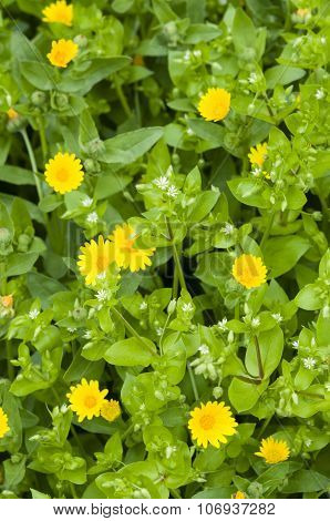 Chickweed, White Flowers And Yellow Daisies
