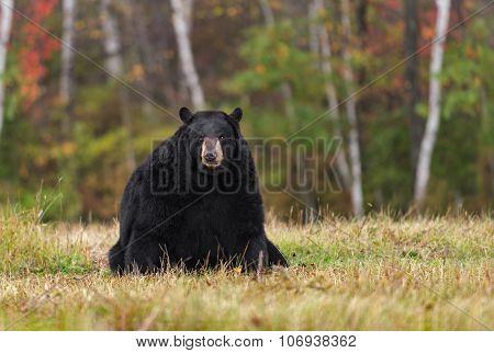 Adult Female Black Bear (ursus Americanus) Sits In Field