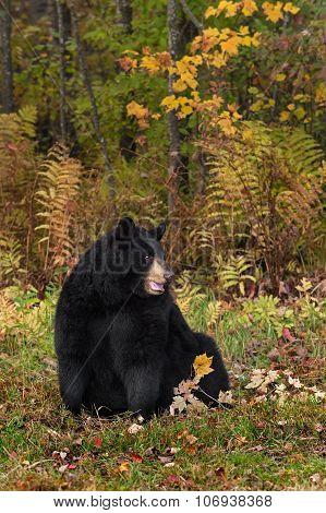 Adult Female Black Bear (ursus Americanus) Sits Looking Right