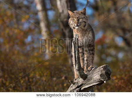 Bobcat (lynx Rufus) Stands Atop Log