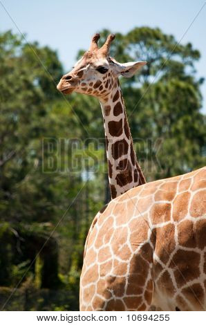 A Head Of Young Giraffe