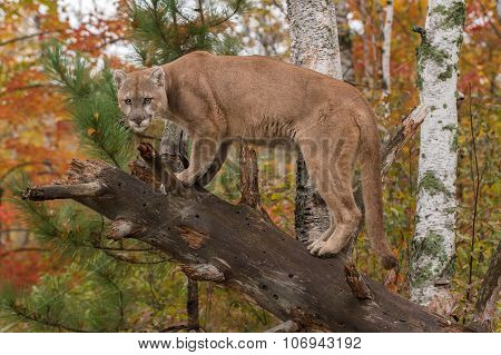 Adult Male Cougar (puma Concolor) Glares From Downed Tree