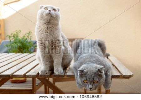 Two Scottish Fold cats