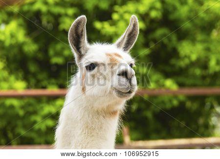 Llama in zoo closeup