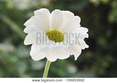 Single white camomile on a green background