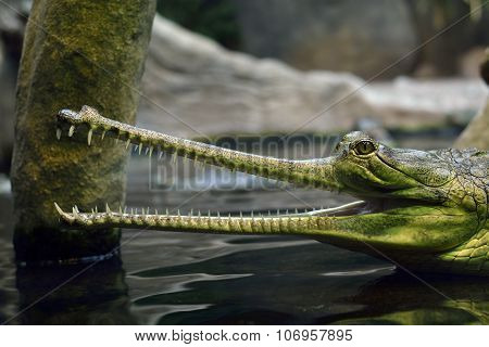 Gavial Indien