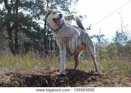 Hunter - Huskies dug a hole in the woods