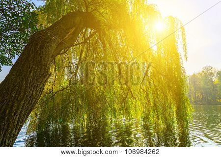 Branches Of Willow Tree Above Lake