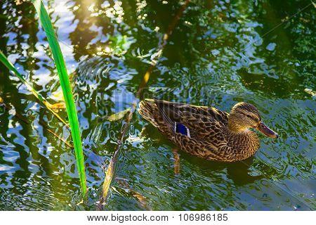 Mallard On A Blue Water