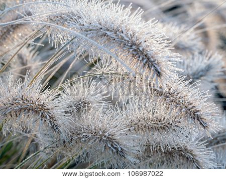 Aristae of Pennisetum alopecuroides grass covered with morning frost