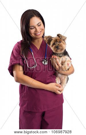 Veterinarian woman holding a Yorkshire Terrier dog - isolated on white