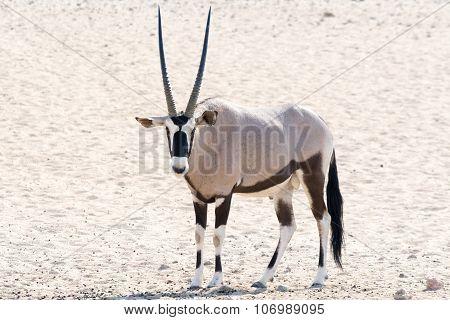 Oryx In The Desert