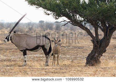 Oryx And Kitten Under Tree