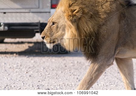 Hungry Lion Crossing A Road Between Cars