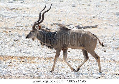Kudu On The Walk