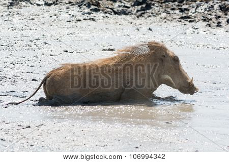 Young Warthog Swimming