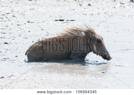 Young Warthog Swimming In Muddy Water