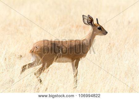 Steenbok In Grassland