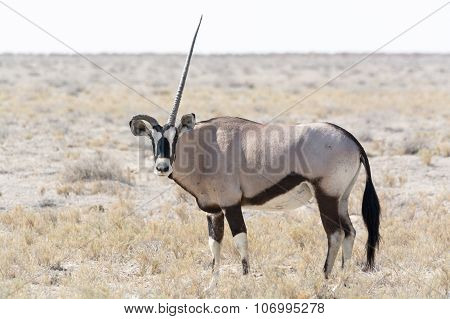One Horned Oryx