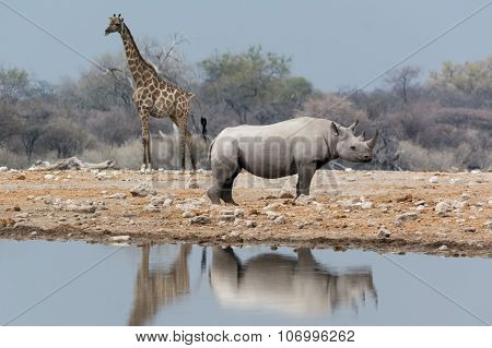 Giraffe And Rhinoceros At Waterhole