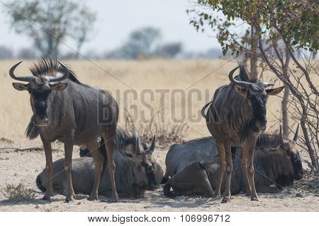 Group Of Blue Wildebeest.