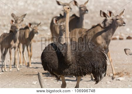 Ostrich In Front Of A Group Of Kudu.
