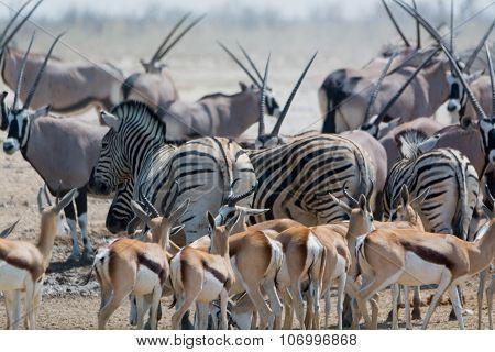 Zebras And Springboks.