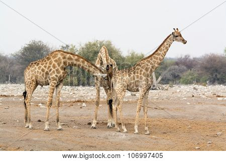 Two Giraffe Bulls Sniffing At One Female