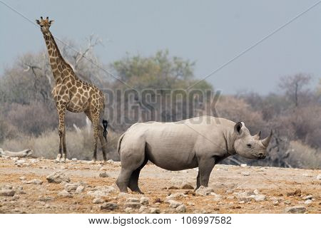 Giraffe And Rhino