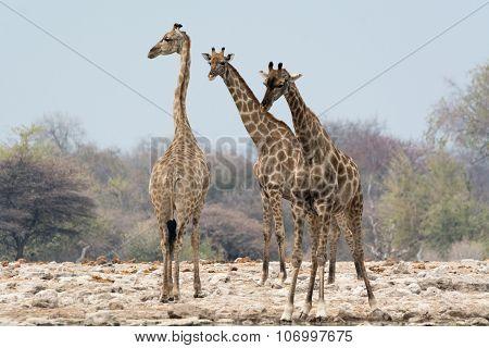 Group Of Three Giraffes At Waterhole.