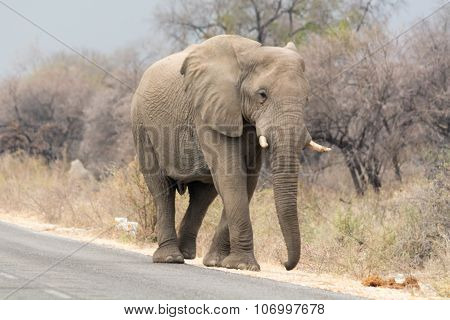 Elephant Walking Beside Tared Road