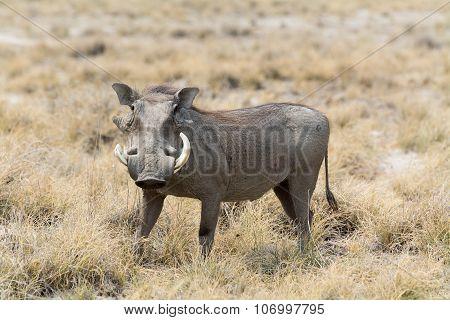 Warthog In Grass