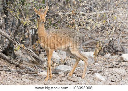 Damara Dik-dik In Bushland