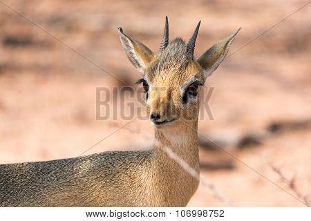Portrait Of A Damara Dik Dik In Bushland