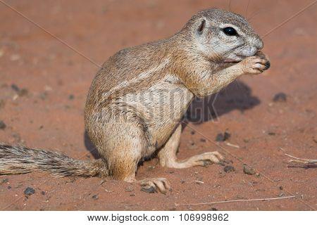 Ground Squirrel In Red Desert