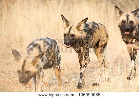 Three African Wild Dogs Walking Through High Grass