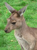 image of tammar wallaby  - close up of a young kangaroo island kangaroo - JPG