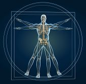 picture of skeleton  - Body and skeleton in vitruvian man  - JPG