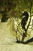 stock photo of under sea  - a sea horse hiding behind under water plants - JPG
