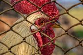 Постер, плакат: Caged rooster Unfree range range Farm animal in cage