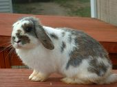 pic of rabbit hutch  - grey and white lop eared rabbit on a hutch - JPG