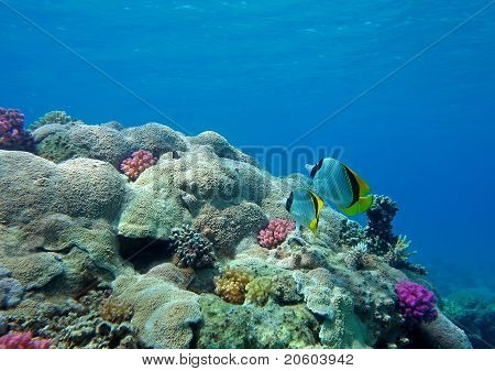 Two Lined Butterfly Fish