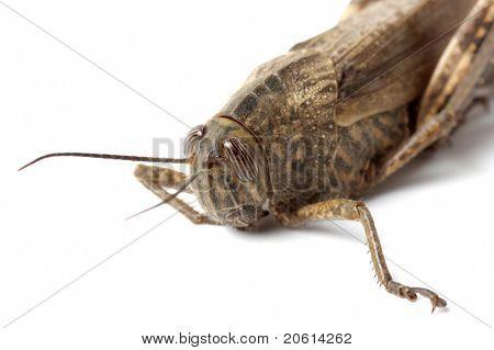 Grasshopper on white background