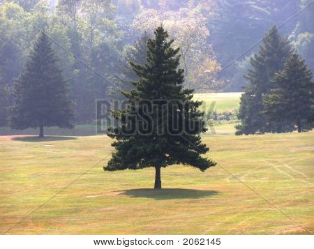 Pine Tree On Golf Course