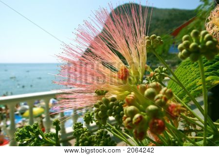 Acacia Blossom With A Rock Blue Sea And Beach On The Background