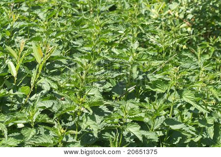 Thickets of lot scalding nettles