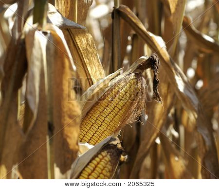 Fall Harvest:  Corn