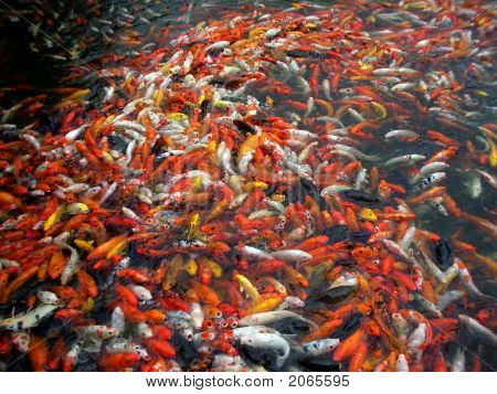 A Lot Of Koi Fishes