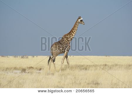 Giraffe walking in Etosha National Park
