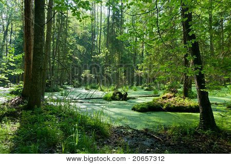 Natural Alder-carr Stand Of Bialowieza Forest With Standing Water